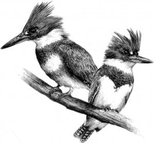 Belted kingfisher Illustration courtesy of Lone Pine Publishing