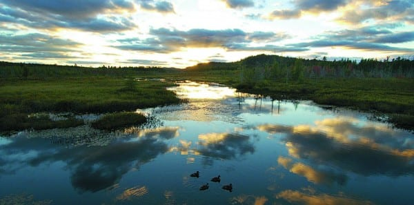 Mallards swimming in Browns Tract Inlet at sunset.