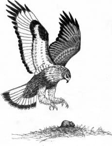 Rough-legged hawk descends on a meadow vole