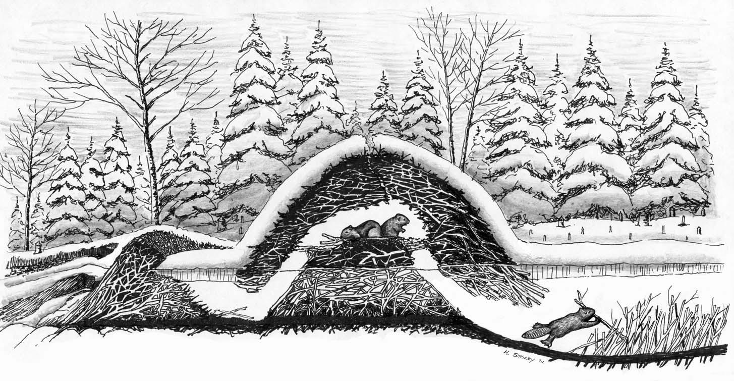 Beaver lodge diagram - photo#29