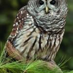Barred owl Scarlet tanager
