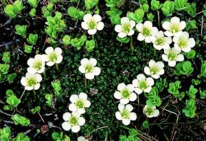 Diapensia forms a dense cushion on wind-swept summits.