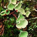 Goblet lichen.