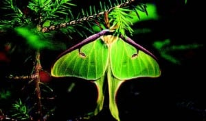 A luna moth clings to a balsam branch after hatching from its cocoon.