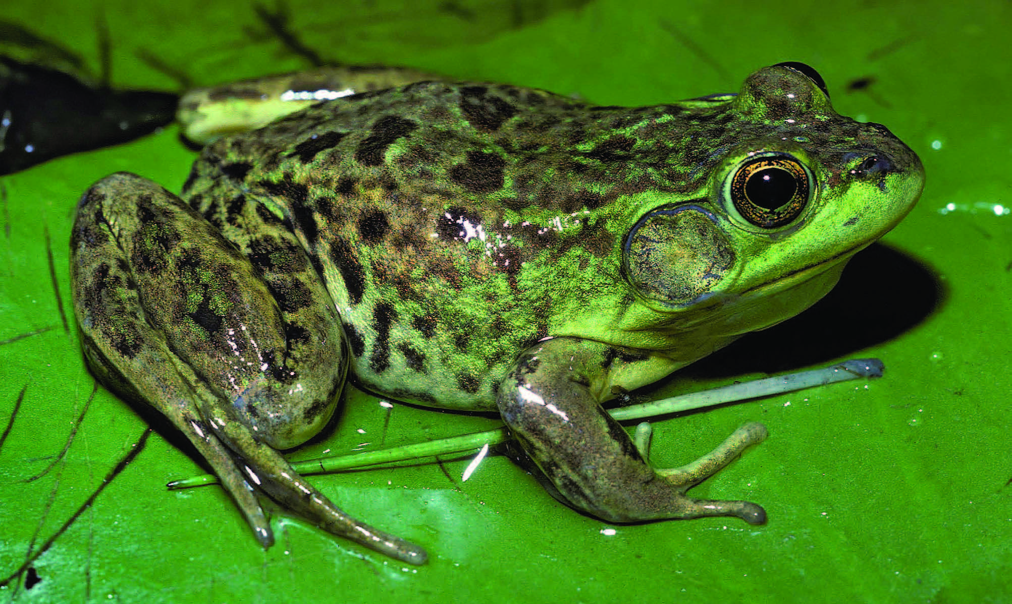 The Frogs and Toads of North America - Adirondack Explorer ...: www.adirondackexplorer.org/book_reviews/the-frogs-and-toads-of...