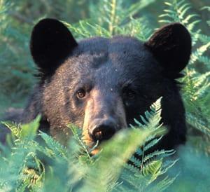 A black bear. Photo by Gerry Lemmo.