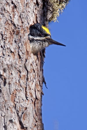 Black-backed woodpecker. Photo by Larry Master.