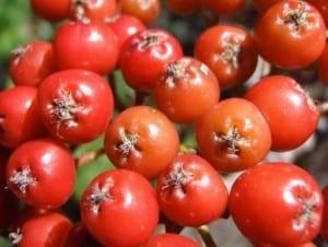 closeup-berries
