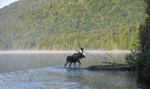 moose-silhouette