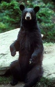 A black bear. Photo from Wikipedia.