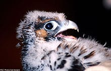 A peregrine falcon chick. Photo from Wikipedia.
