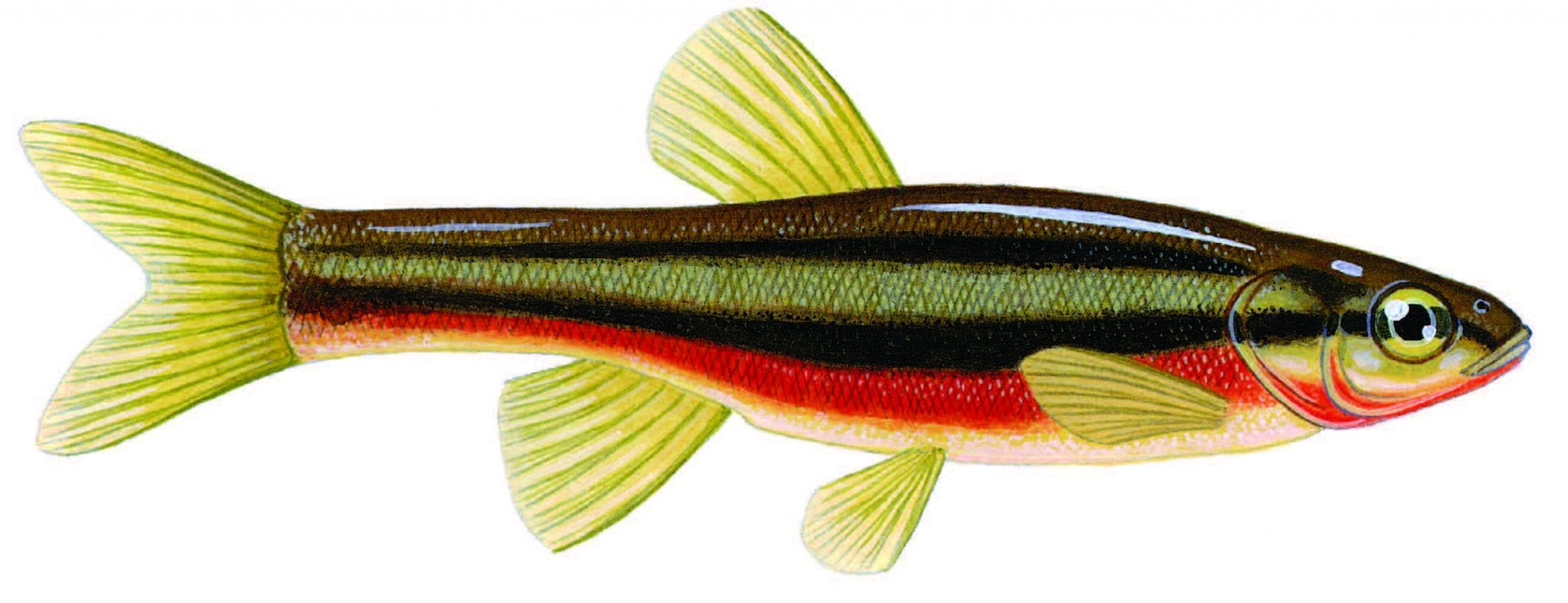 Freshwater fish dace - Northern Redbelly Dace