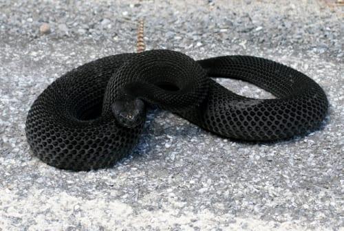 Timber rattlesnake on Lake Shore Road. Photo by Seth Lang.
