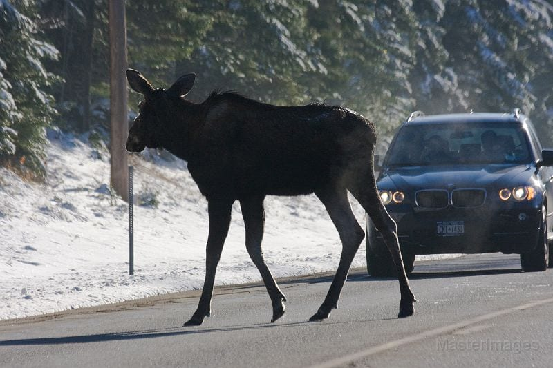 Moose are on the move this time of year. Photo by Larry Master.