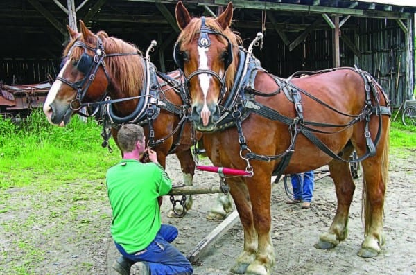 Mark prepares the draft horses for a day's work.