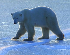 Polar bear on Hudson Bay sea ice.