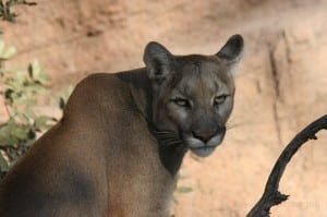 Eastern cougar. Photo by Larry Master.