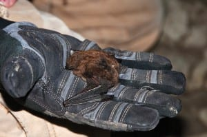 Scientists wear gloves while handling bats to prevent spreading white-nose syndrome. Photo by Carl Heilman II