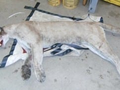 Cougar migrated from South Dakota