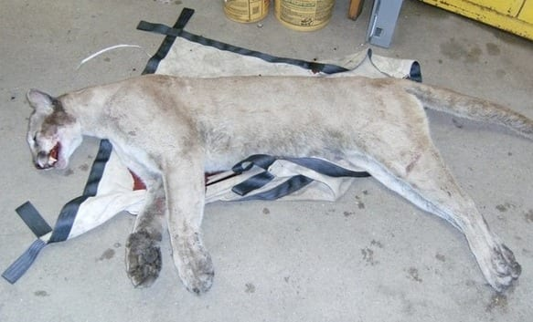 The mountain lion was killed by a car in Milford, Connecticut. Photo courtesty of Connecticut DEEP.