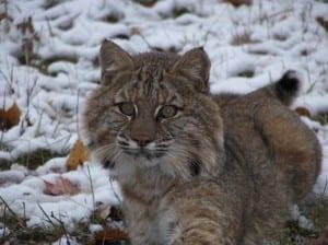 A bobcat. Photo from NYSDEC.