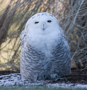 A snowy owl. Photo by Larry Master.