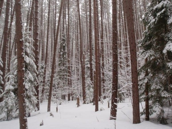 The Jackrabbit Trail passes through a pine forest on the outskirts of Saranac Lake, as seen in February 2013. Photo by Phil Brown.