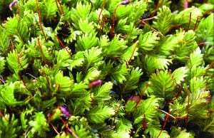 Maidenhair pocket moss resembles miniature ferns. Photo courtesy of Princeton University Press.