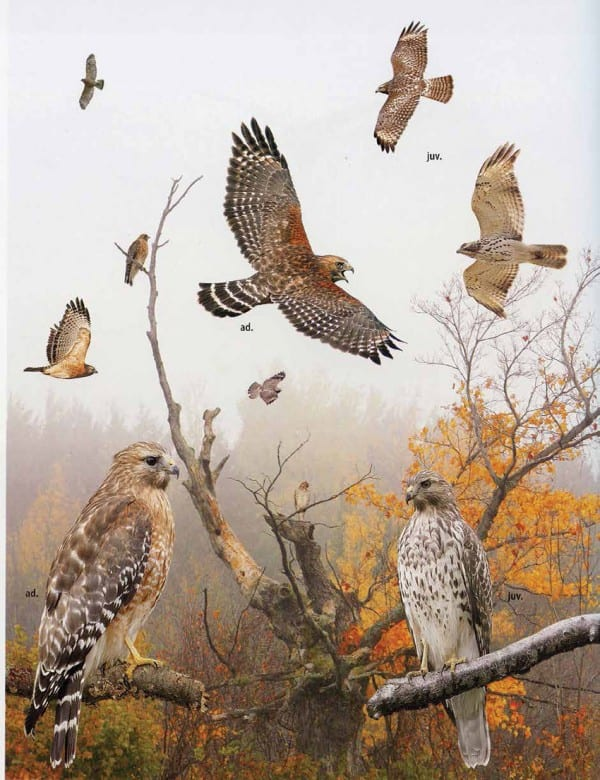 The Crossley guidebook shows red-shouldered hawks as they might be encountered in the field. Courtesy of Princeton University Press