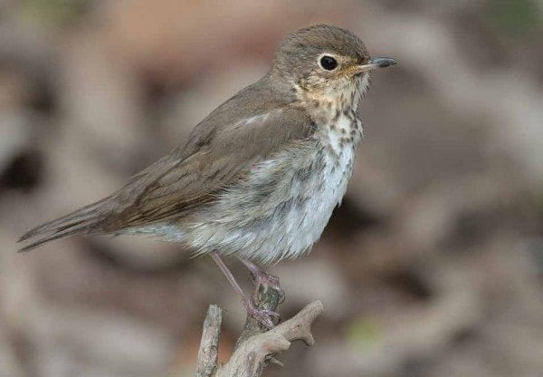 The Swainson's thrush uses the stars and the magnetic field to navigate during migration. Photo by Jeff Nadler