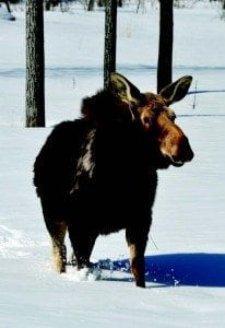 Snowmobiles could disturb moose.