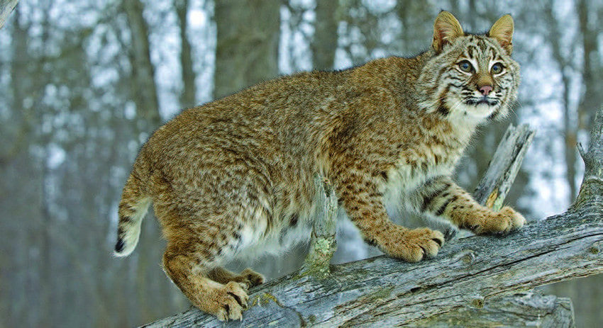 Bobcats are sometimes mistaken for mountain lions. Photo by BigStockPhoto.com