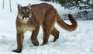 Cougar-in-Montana-Photo-by-BigStockPhoto-dot-com-300x175