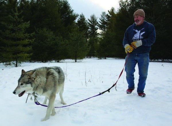 Steve Hall takes Cree, one of his three wolves, for a walk at the Adirondack Wildlife Refuge. Photo by Mike Lynch
