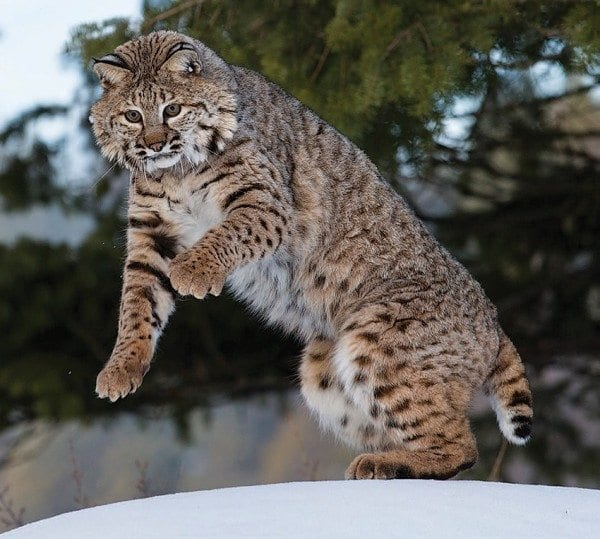 The bobcat is the only wild feline still living in the Adirondacks. Photo by Larry Master