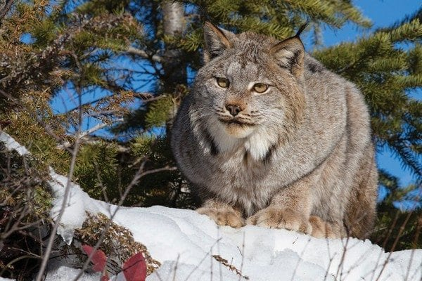 The state tried unsuccessfully to reintroduce Canada lynx to the Adirondacks twenty-five years ago. Photo by Larry Master