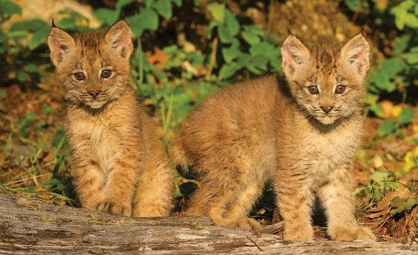 """""""Once they have those kittens, they're tied to the area,"""" says wildlife biologist John Laundre. Photo by Larry Master"""