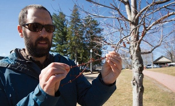 Scientist Ezra Schwartzberg checks a red maple bud on the phenology trail near Mirror Lake in Lake Placid. Photo by Mike Lynch