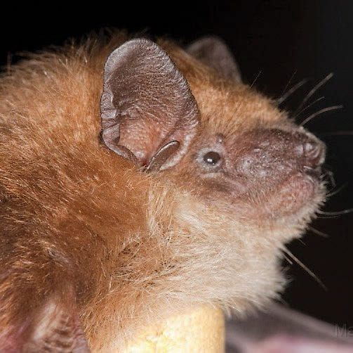 Little brown bat Photo by Larry Master