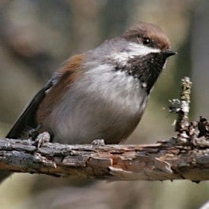 Boreal chickadee Photo by Larry Master