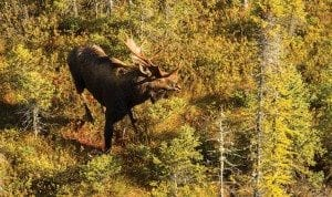 Moose populations have declined in several states, perhaps due to rising temperatures. Photo by Mike Lynch