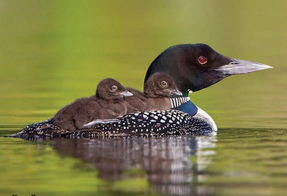 Climate change is expected to put the Adirondack loon population at risk in the coming decades. Photo by Jeff Nadler