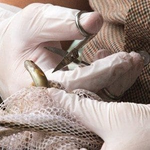 A brook trout has its fin clipped for a genetic study. Photo by Mike Lynch