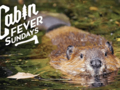 cabin-fever-sundays-living-with-beavers-300x200