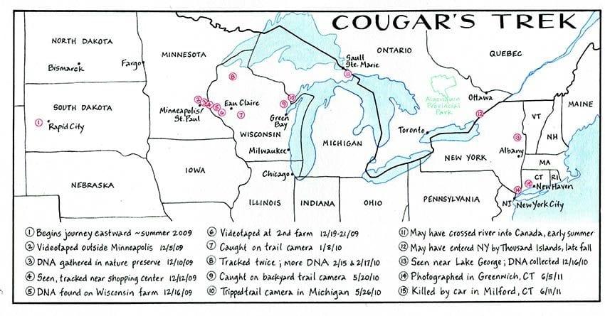 Cougar's Trek NANCYBERNSTEINILLUSTRATION.COM