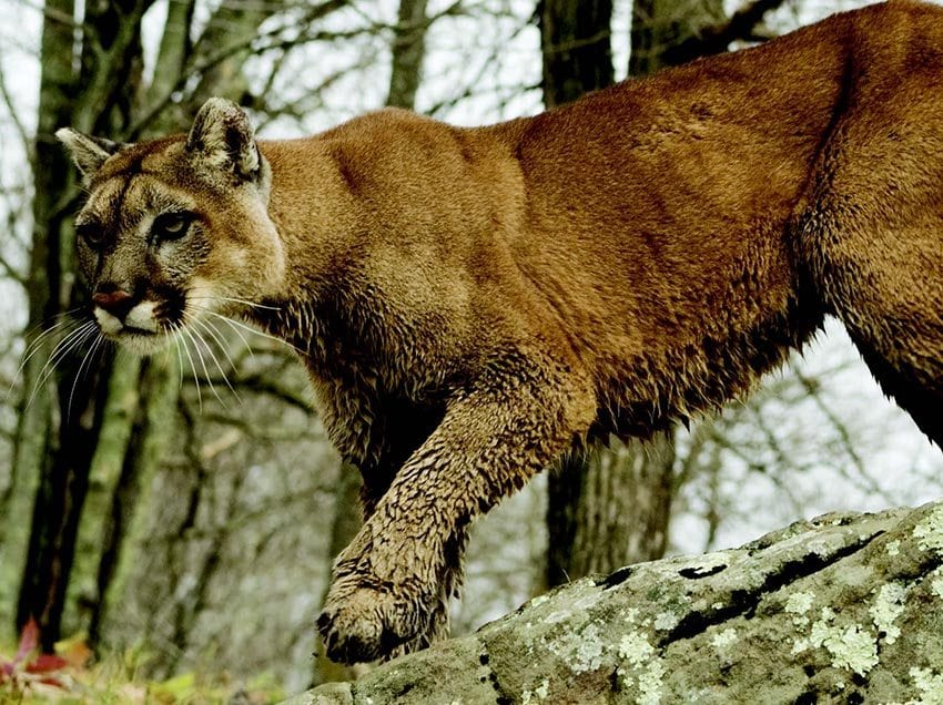 Cougars have been persecuted for centuries. BIGSTOCKPHOTO.COM