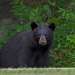 Black bears continue to raid campsites on Saranac lakes