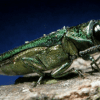 Emerald ash borer documented for first time in Adirondacks