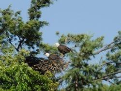Vermont eagles