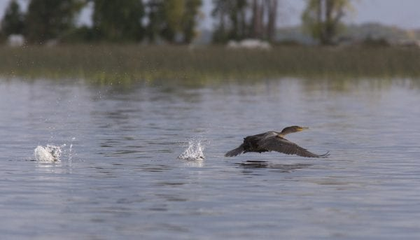 Cormorant numbers have increased on Lake Champlain in recent years, alarming some people who are concerned about their impacts on fish populations and vegetation where they nest. They have reputations as voracious eaters and their acidic guano can kill plants. Photo by Mike Lynch
